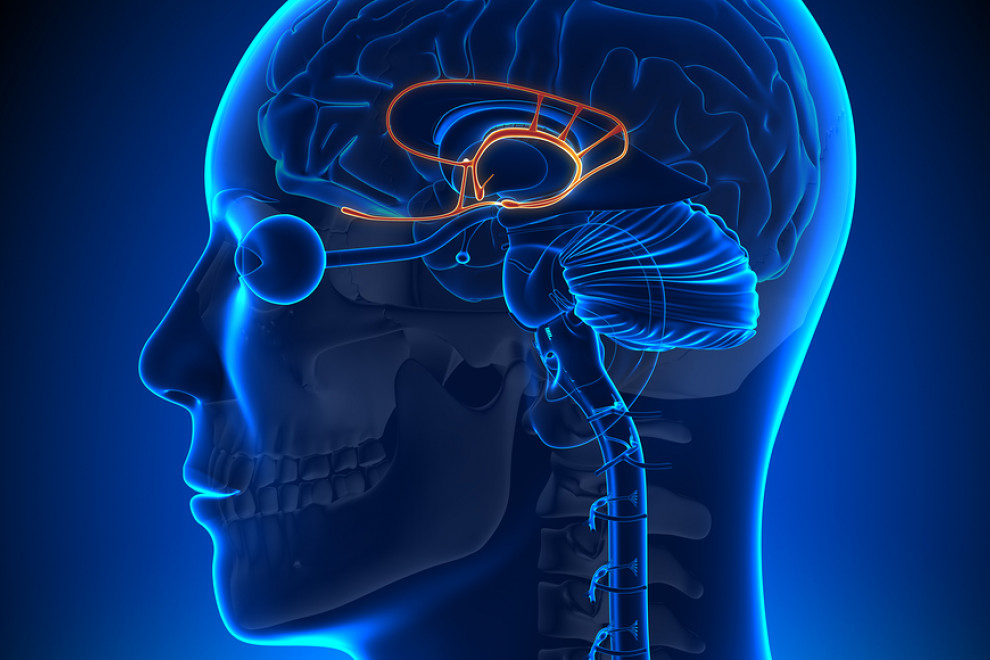Amígdala Cerebral Qué Es Funciones Y Anatomía