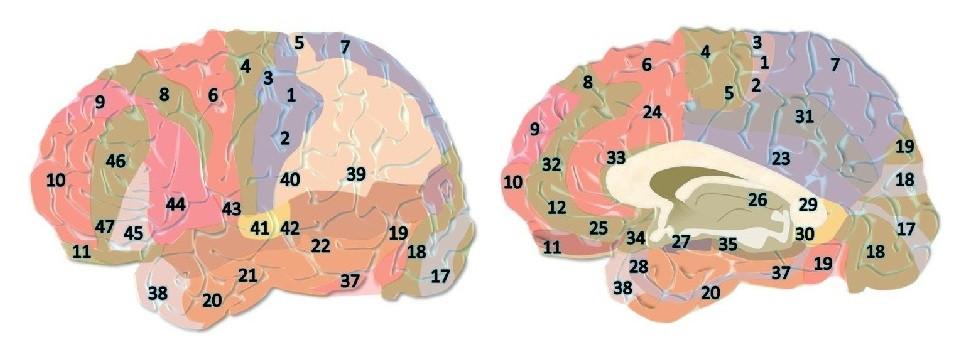 Áreas de Brodmann en el cerebro