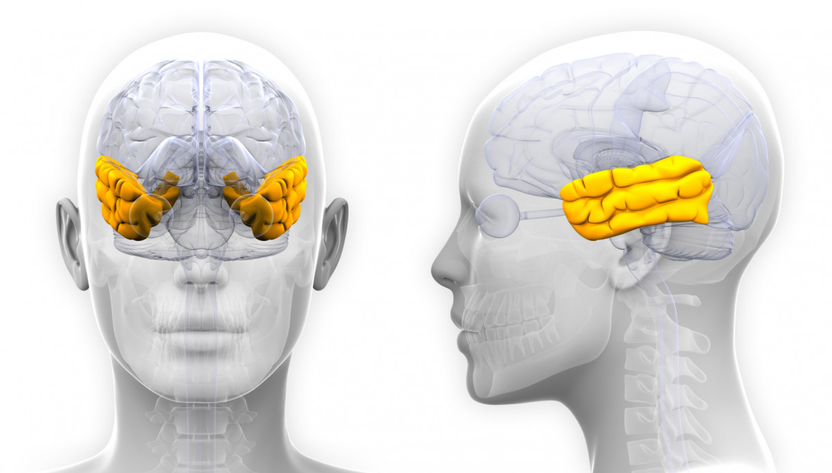 Lóbulo temporal del cerebro