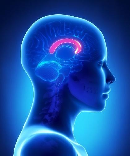 Cuerpo calloso del cerebro humano