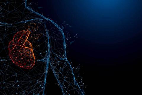 Partes y funciones del corazón humano