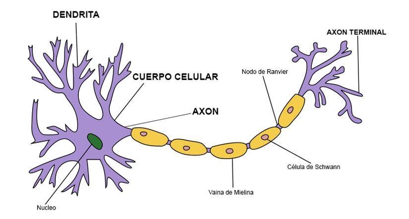 Neurona: partes