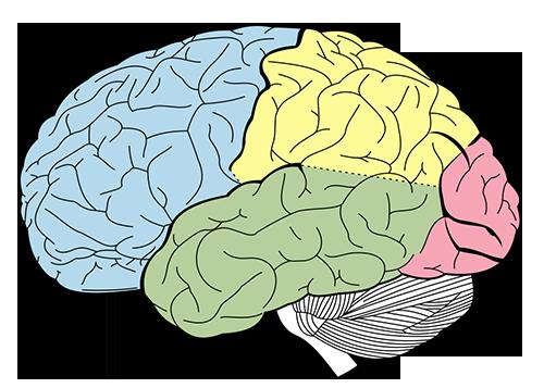 Lobulos corticales