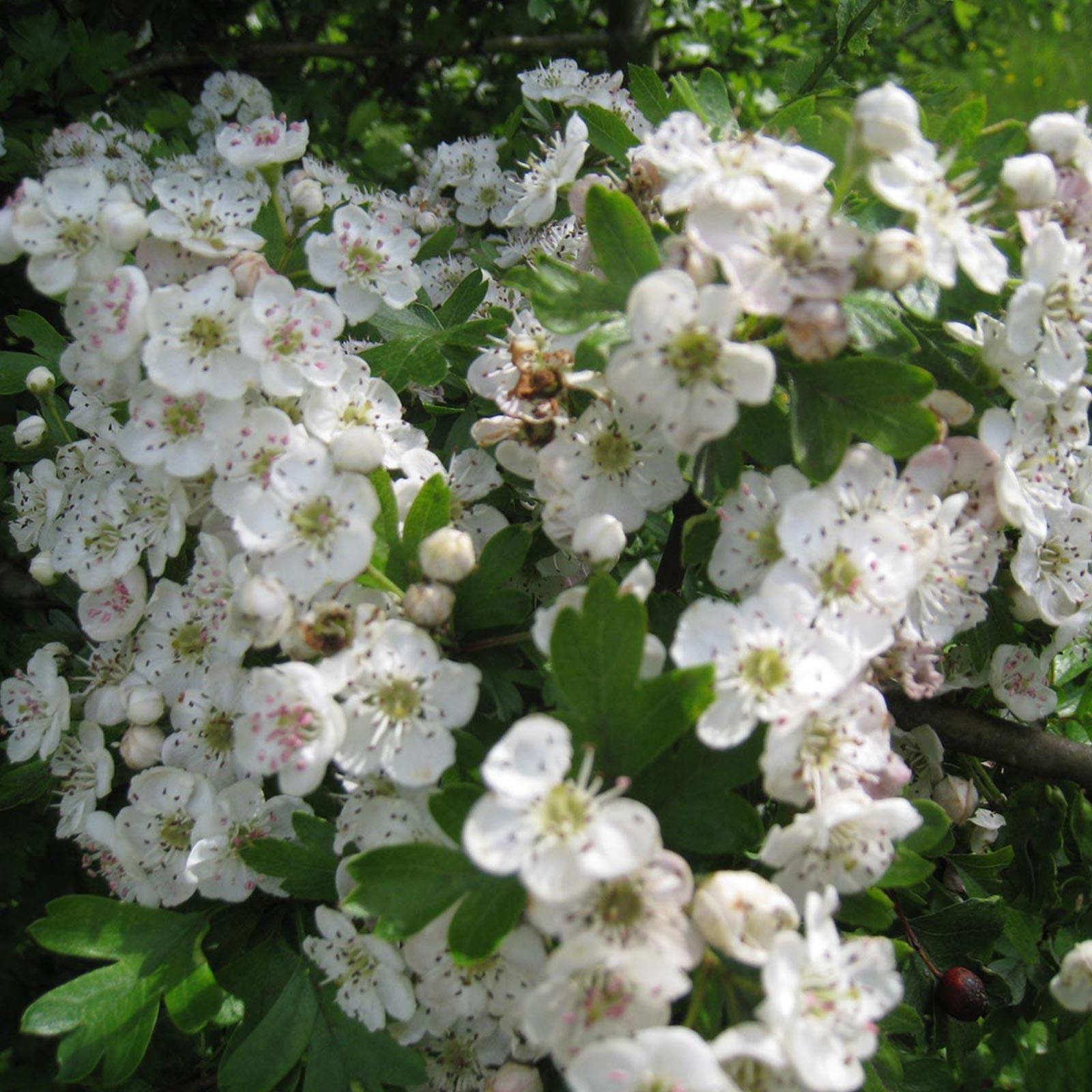 Flores del espino blanco