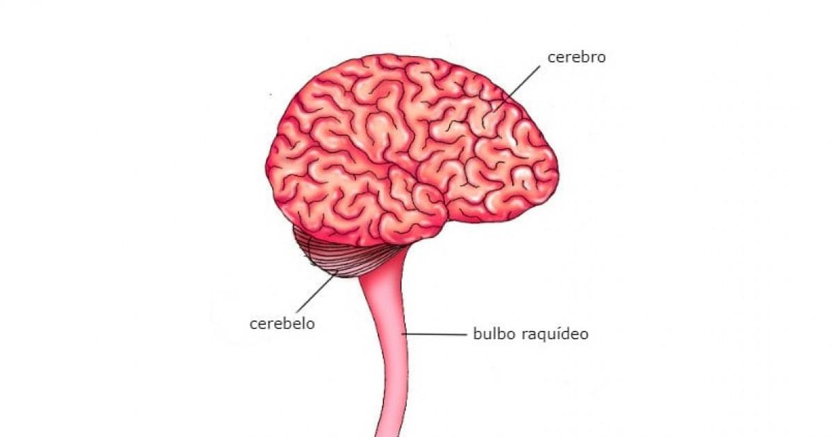 Bulbo Raquídeo Anatomía Funciones Y Características