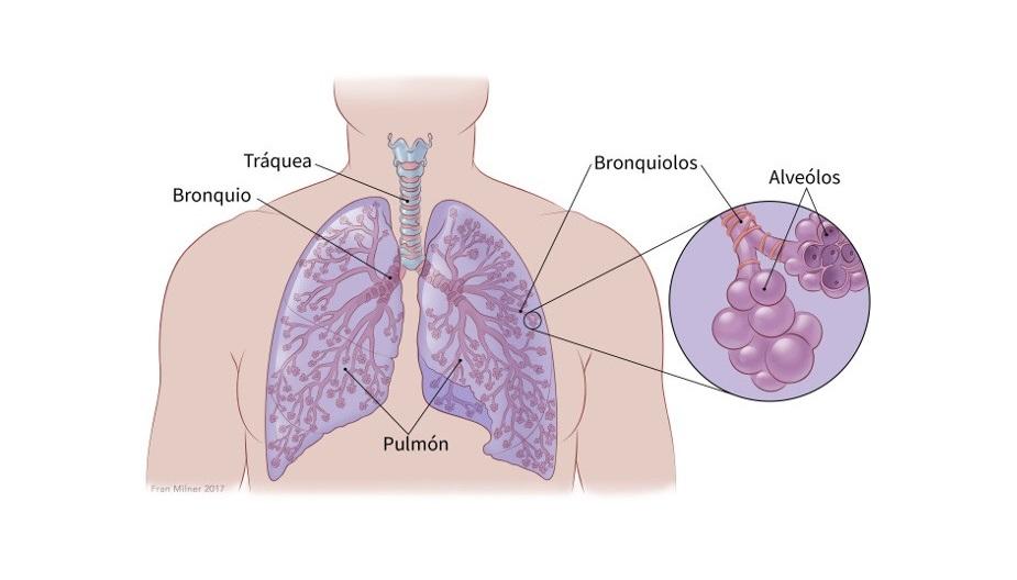 Partes pulmones