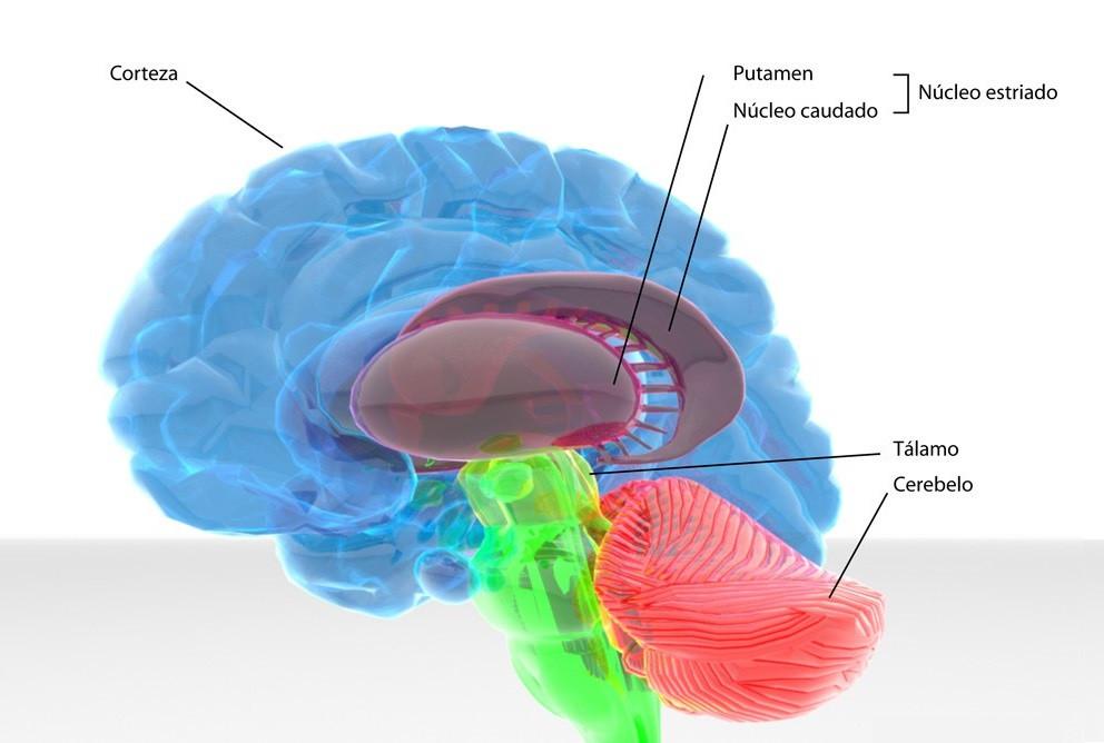 Tálamo y cerebro