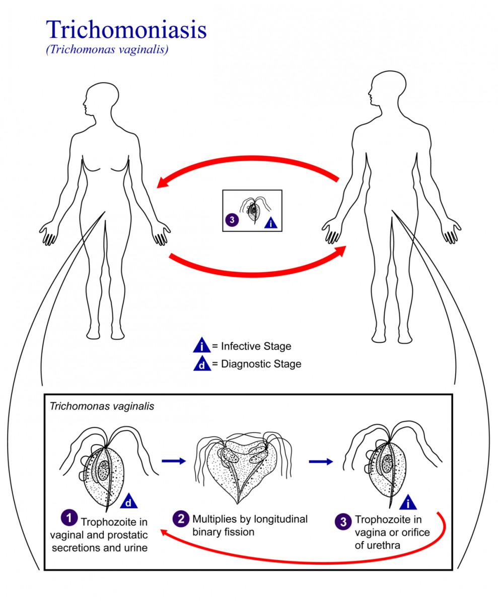 Tricomonas ciclo