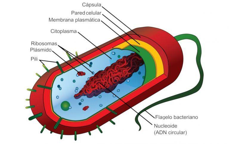 Bacteria estructura