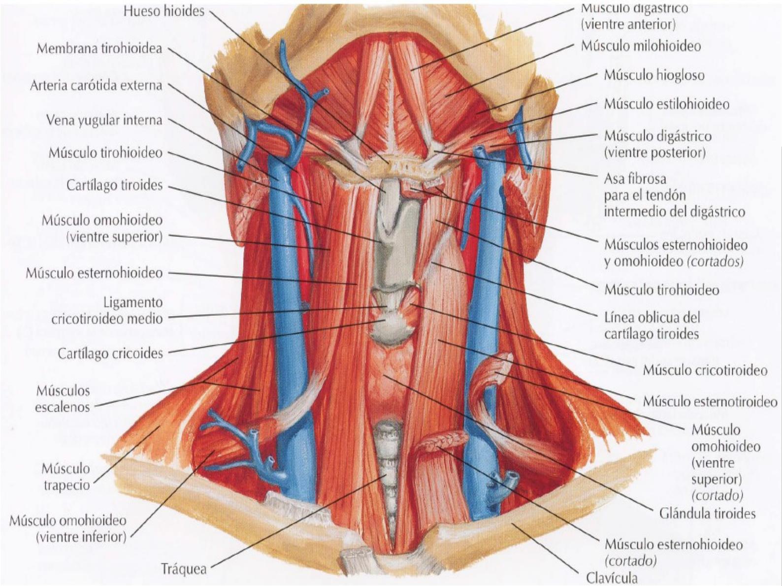 Musculatura cuello