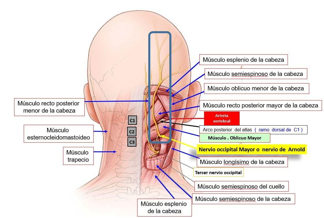 Musculatura posterior
