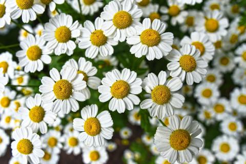 Manzanilla: 10 propiedades y beneficios de esta planta medicinal