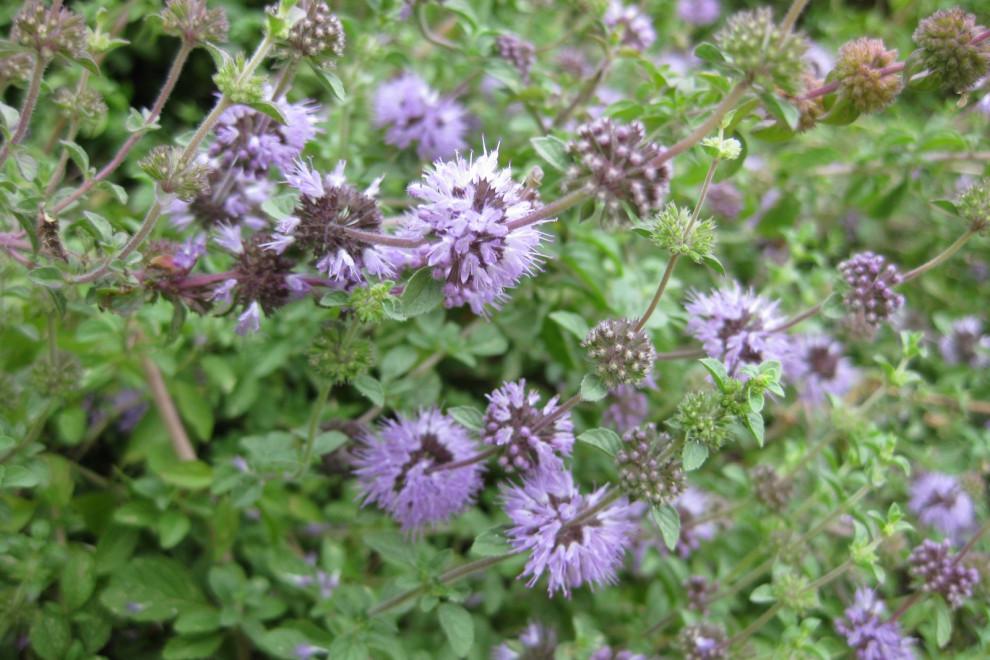 Menta poleo: 15 propiedades y beneficios de esta planta medicinal