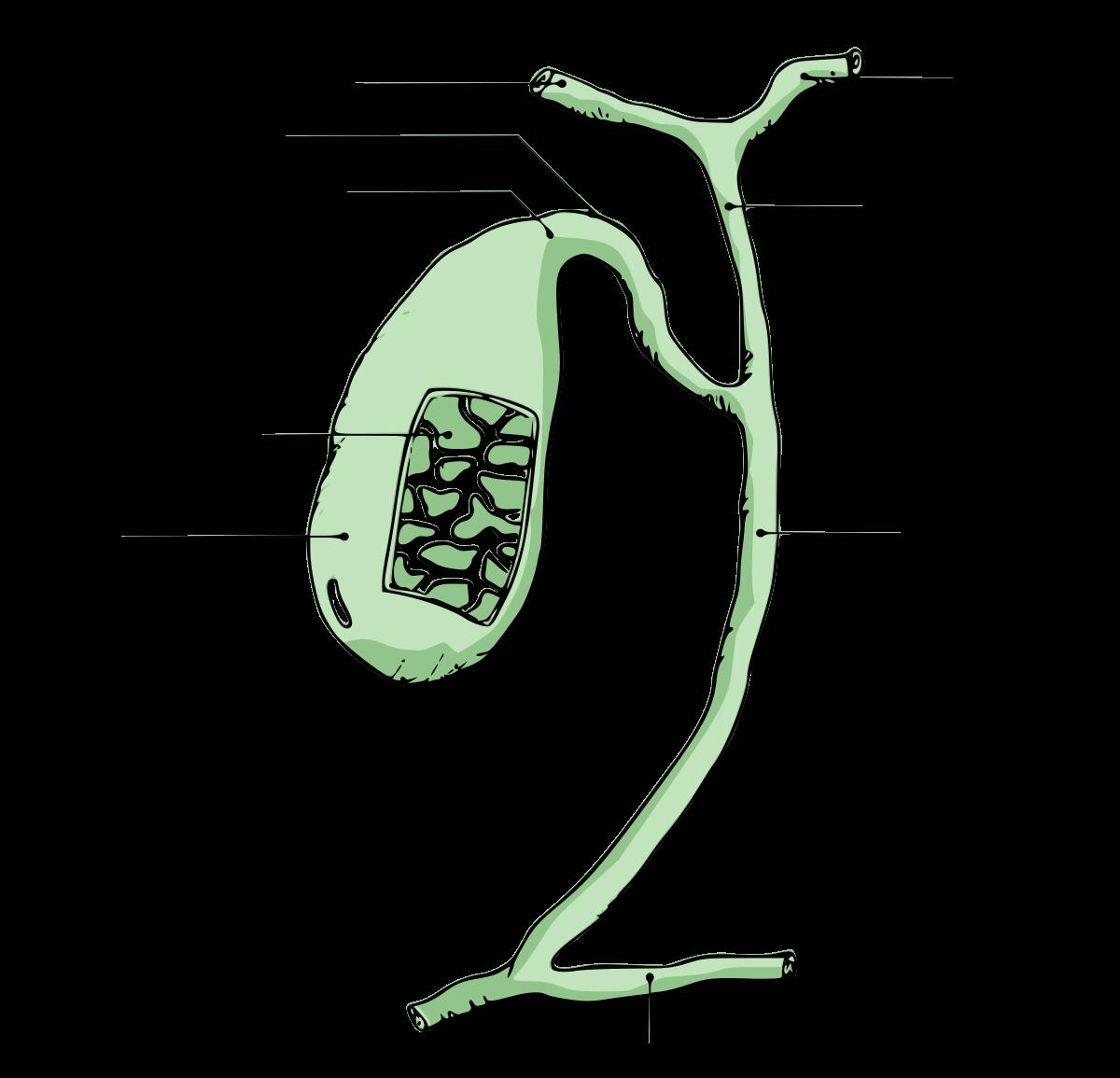 Partes vesícula biliar
