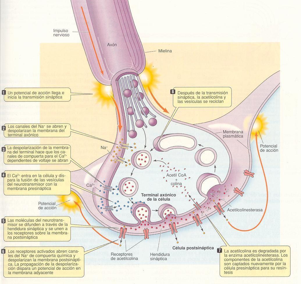 Sinapsis funcionamiento