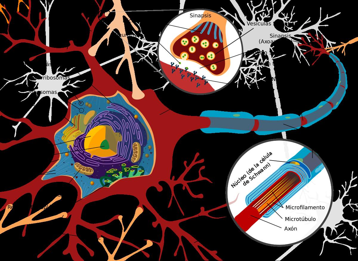 Neuronas estructura
