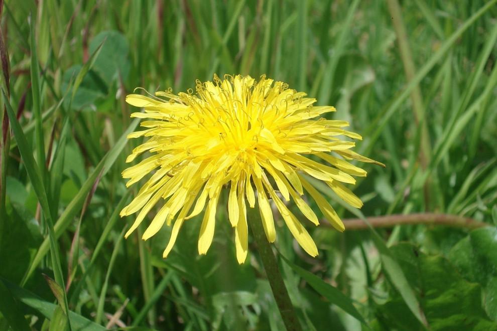 Diente de león: 14 propiedades y beneficios de esta planta