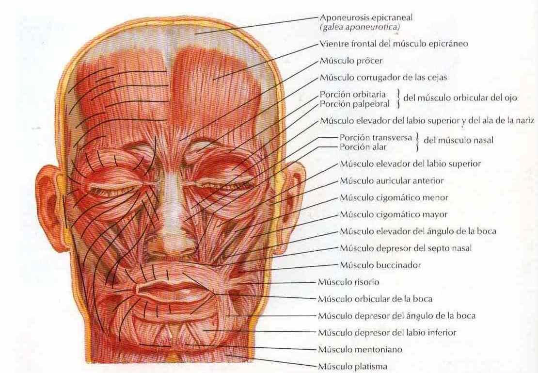 Cara músculos