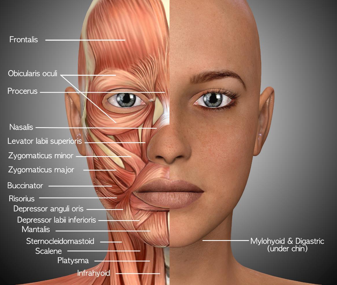 Músculos rostro