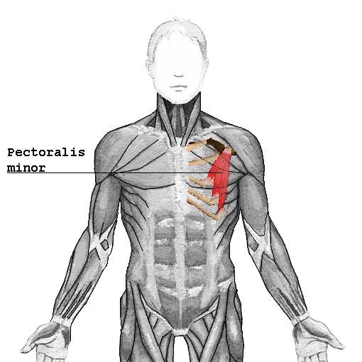 Músculo pectoral menor