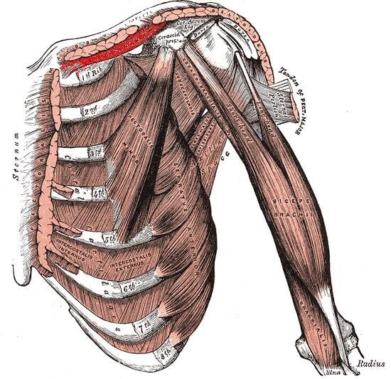 Musculo subclavio