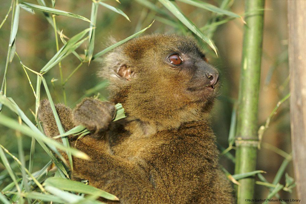 Lemur grande del bambú