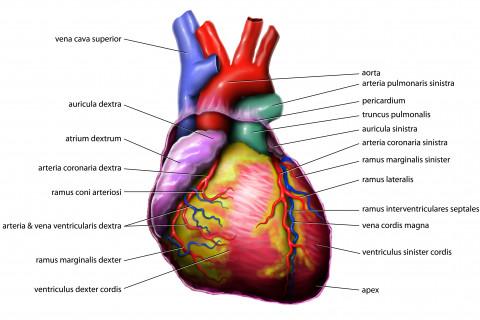 Los 15 principales órganos del cuerpo humano y sus funciones