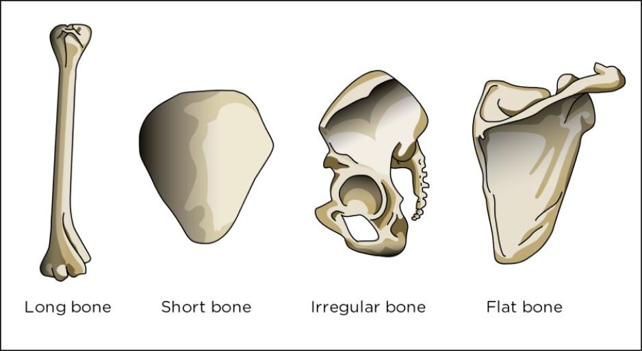 Los tipos de hueso