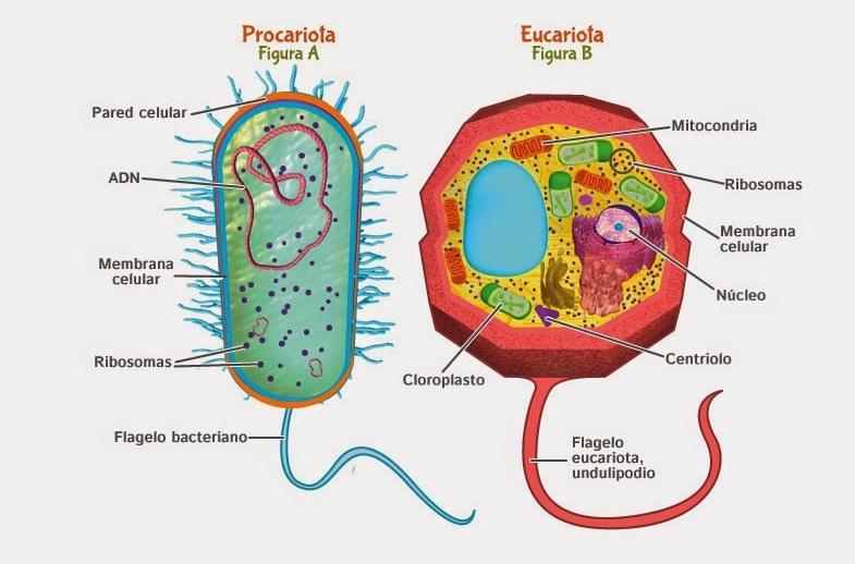 Células procariota y eucariota
