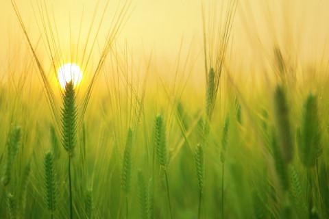 Almidon de trigo