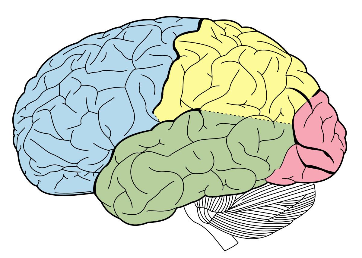Cerebro esquema lóbulos