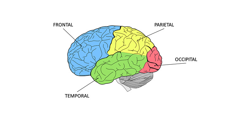 Lóbulos del cerebro