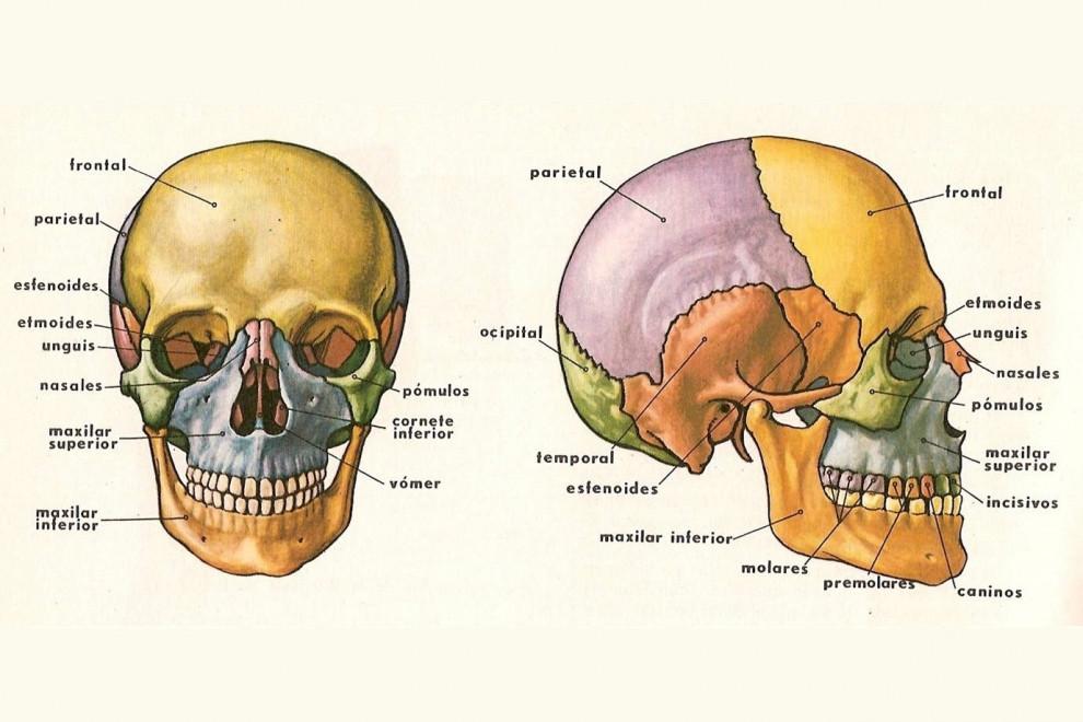 Huesos de la cabeza y el cráneo