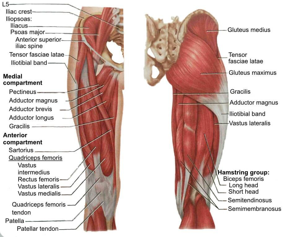 Diagrama de los músculos de la pierna