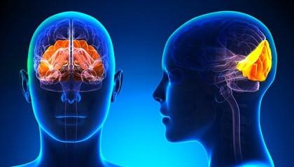 Lóbulo occipital del cerebro