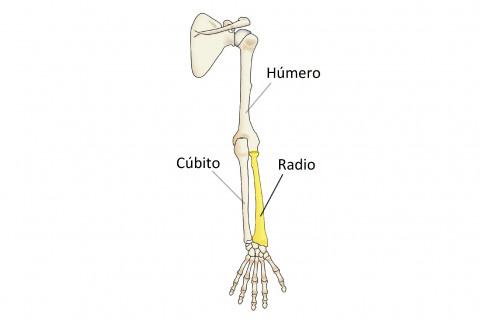 Huesos del brazo y el antebrazo
